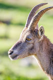 Profile of an Ibex doe Stock Photos