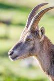 Profile of an Ibex doe Stock Photos