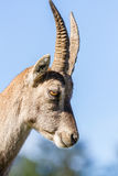 Profile of an Ibex doe Royalty Free Stock Image