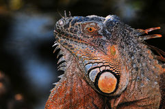 Profile of an Iguana Royalty Free Stock Photo