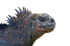 Profile of iguana Stock Images