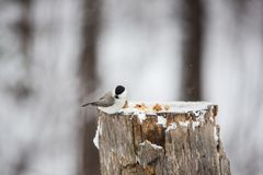 Image of beautiful bird Marsh Tit or Poecile palustris sitting on the stump and pecking bread in the winter forest. Profile Image of beautiful bird Marsh Tit or royalty free stock photos