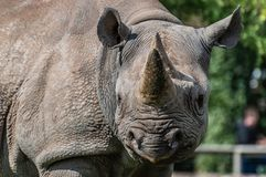A close-up of a black rhinoceros at the zoo stock images