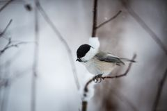 Profile Image of cute and tiny marsh tit bird sitting on the branch in the winter forest stock images