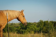 Palomino horse in field Royalty Free Stock Photography