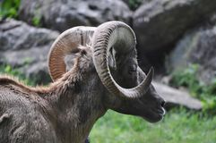 Ram Head Profile with Curved Horns royalty free stock photos