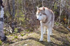 Profile Image of wild and free dog breed Siberian husky standing in the forest and sniffing fresh greenery. A dog on a natural background on sunny day in stock photography