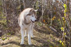 Profile Image of wild and free dog breed Siberian husky standing in the forest and sniffing fresh greenery. A dog on a natural background on sunny day in stock images
