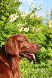 Profile of the Irish setter Royalty Free Stock Images
