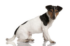 Profile of Jack Russell Terrier, sitting Royalty Free Stock Images