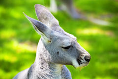 Profile kangaroo Stock Photography