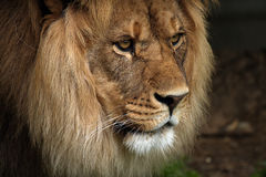 Profile Of A King. Side profile of a beautiful African Lion Royalty Free Stock Photography