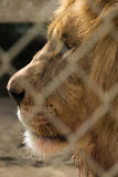 Profile of a King. The king of the jungle gives a stern profile shot Royalty Free Stock Image