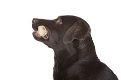 Profile of Labrador with Bone Stock Photography