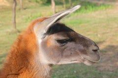 Profile of the lama Royalty Free Stock Photo