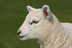Profile  of a Lamb Stock Image