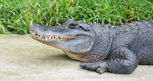 Profile of a large American alligator near green plants. Close up profile of a large fierce American alligator with teeth showing walking near green plants with stock photography