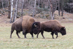 Profile of a large American Field Buffalo Royalty Free Stock Photography