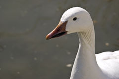 Profile of a Lesser Snow Goose (Chen caerulescens). In a pond royalty free stock image