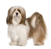 Profile of Lhasa apso, standing