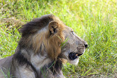 Profile Of A Lion Royalty Free Stock Image