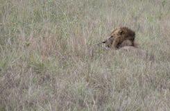Profile of lion hiding Queen Elizabeth National Park, Uganda. Profile of lion hiding in tall grasses in Queen Elizabeth National Park, Uganda, Africa Stock Image
