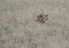 Profile of lion laying Queen Elizabeth National Park, Uganda. Profile of lion laying in tall grasses in Queen Elizabeth National Park, Uganda, Africa Stock Photography