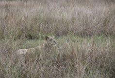 Profile of lioness hiding Queen Elizabeth National Park, Uganda. Profile of lioness hiding in tall grasses in Queen Elizabeth National Park, Uganda, Africa Stock Photo