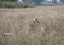 Profile of lioness sitting Queen Elizabeth National Park, Uganda. Profile of lioness sitting in tall grasses in Queen Elizabeth National Park, Uganda, Africa Royalty Free Stock Photography