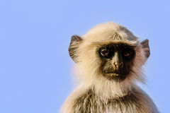 Profile of a little monkey in Jaipur Royalty Free Stock Photography