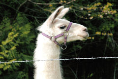 Profile Llama with Harness Stock Photography