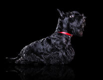 Profile low key  silhouette portrait of a scottish terrier Royalty Free Stock Photography