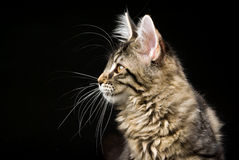 Profile of Maine Coon cat on black background Stock Image