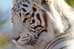 Profile of a Majestic White Tiger Royalty Free Stock Photos