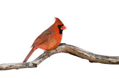 Profile of a male cardinal sitting on a branch. White background stock photography