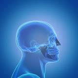Profile of a male human head & skull Royalty Free Stock Photography