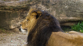 Lion. Profile of a male lion with a beautiful long golden mane Stock Photos