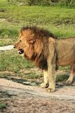 Profile of male lion growling. In on the veld Stock Photo