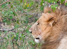 Profile of male lion looking into bushes. Profile of single male lion Panthera leo looking into bushes Maasai Mara National Park, Kenya Royalty Free Stock Images