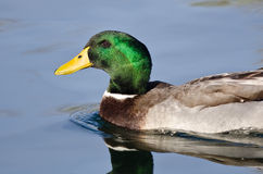 Profile of Male Mallard Duck as It Swims in the Blue Water Stock Photo