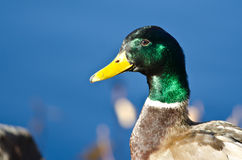 Profile of a Male Mallard Duck Stock Images
