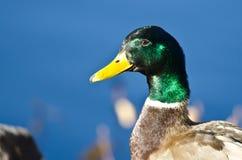 Profile of a Male Mallard Duck. A Close Up Profile of a Male Mallard Duck Stock Images