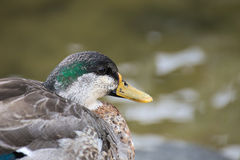 Profile Of Male Mallard During Molt Royalty Free Stock Photography