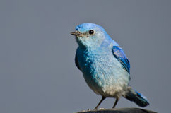 Profile of a Male Mountain Bluebird Stock Image