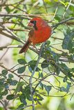 Male Red Cardinal Profile In A Tree. The profile of a male Red Cardinal songbird perched in a tree Royalty Free Stock Photography