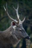 Profile of male sambar deer. In clearing Stock Image