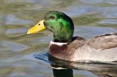 Profile of Mallard Duck as It Swims in the Green Water. Profile of Male Mallard Duck as It Swims in the Green Water Royalty Free Stock Photos