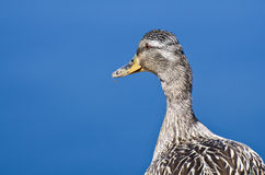 Profile of a Mallard Duck. Profile of a Female Mallard Duck Stock Photography