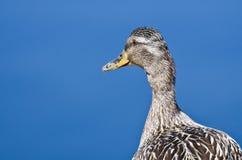 Profile of a Mallard Duck Stock Photography