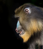 Profile of Mandrill Stock Images
